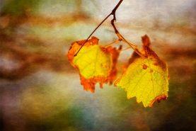 Autumn Vines, Mindarie, Perth