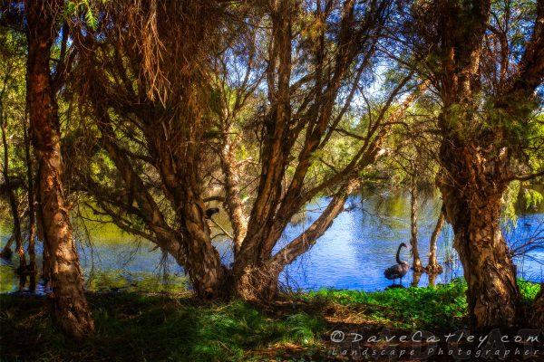 Black Swans, The Secret Garden Perth, Western Australia