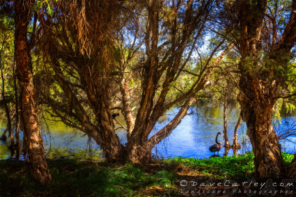 Black Swans, The Secret Garden Perth, Western Australia - MAD About WA
