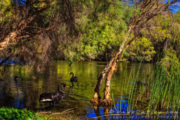 Black Swans, The Secret Garden Perth, Western Australia