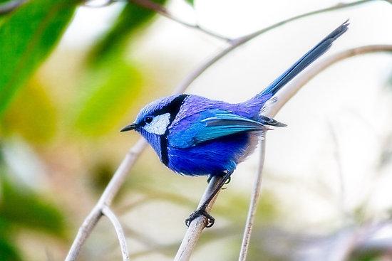 Blue Wren, Bushy Lakes