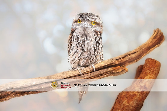ET Wide Awake, Tawny Frogmouth