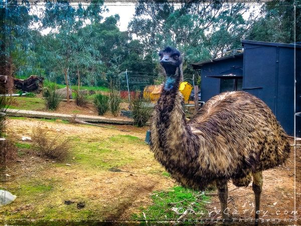 Emu's at The Parky, Parkerville, Mundaring, Western Australia
