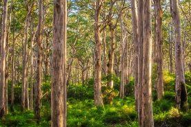Forest Twilight, Boranup Forest
