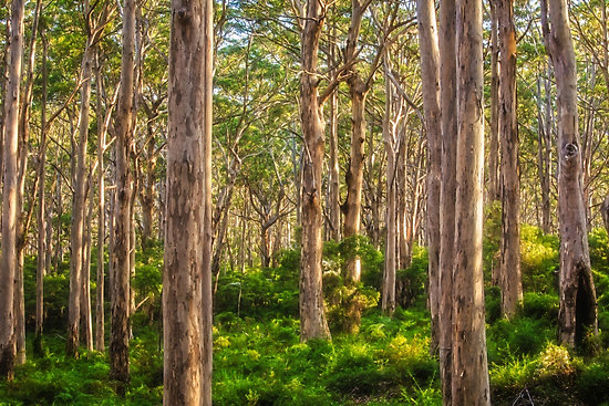 Forest Twilight, Boranup Forest