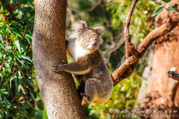 Hang On Tight Joey Yanchep National Park, Perth, Western Australia