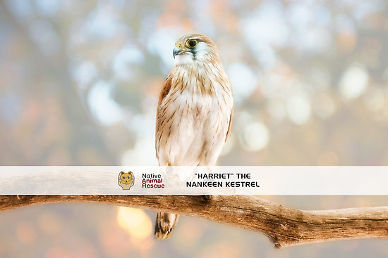 Harriet the Nankeen Kestrel