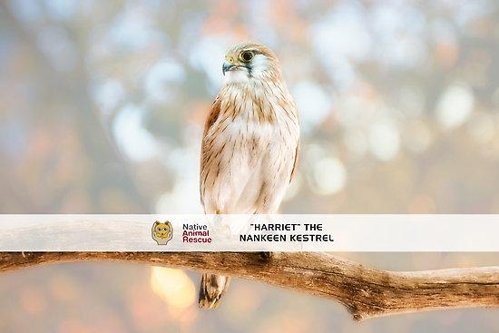 Harriet the Nankeen Kestrel, Native Animal Poster
