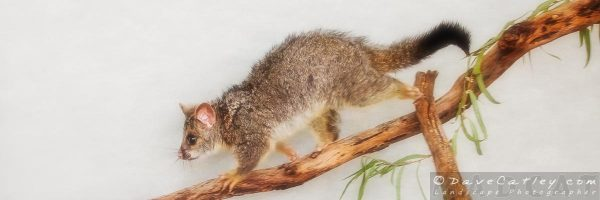 Kyle the Brushtail Possum, Native Animal Rescue, Perth, Western Australia