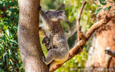 Adventuresome Koalas in Yanchep National Park