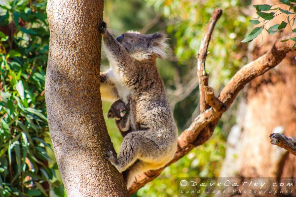Mum and Baby Koala in Yanchep National Park Perth Western Australia
