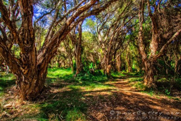 Paperbark Trees, The Secret Garden Perth, Western Australia