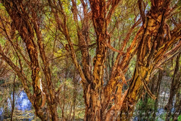 Paperbark Trees, The Secret Garden Perth, Western Australia