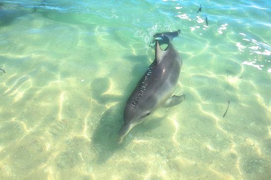 Samu the Baby Dolphin 2 , Monkey Mia, Shark Bay