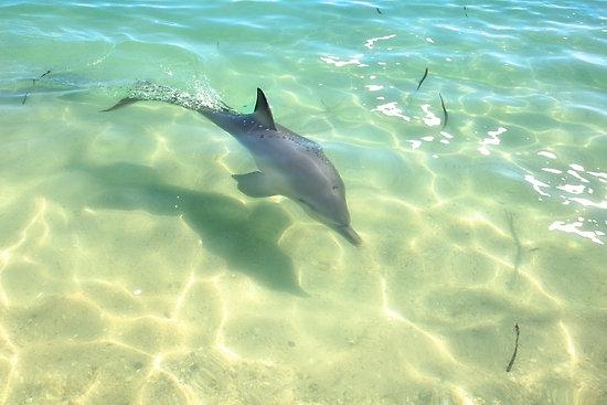 Samu the Baby Dolphin 3, Monkey Mia, Shark Bay