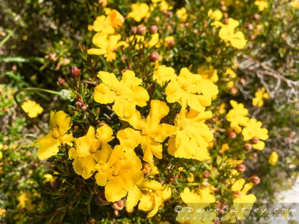 These bushes are very common and absolutely covered in these gorgeous yellow flowers.