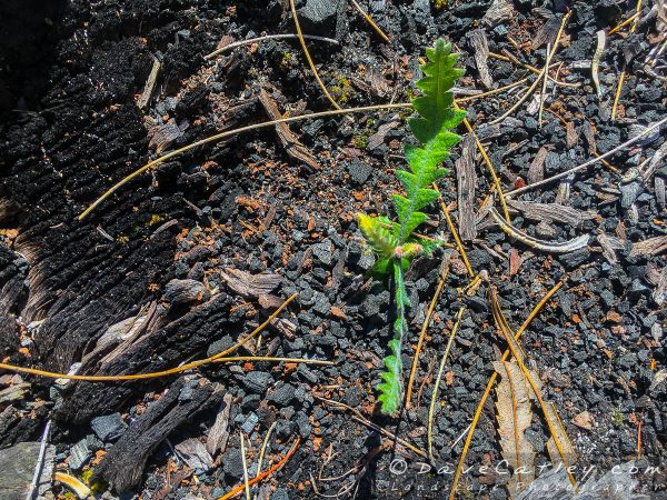 New growth showing from the burnt out remains of what once was a giant Jarrah tree, nature always prevails.